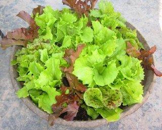 Salata verde poate creste si in ghiveci