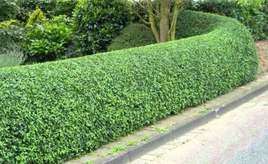 Lemnul cainesc - Ligustrum vulgare - gard viu - plantare, ingrijire, tundere ,inmultire