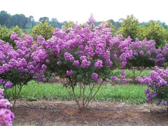 Arbust de liliac in gradina