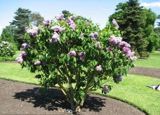 Arbust ornamental Syringa Vulgaris liliac cu flori mov