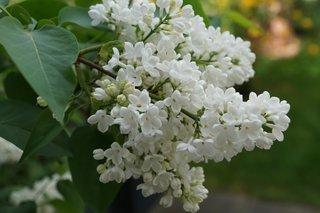 Flori albe de liliac