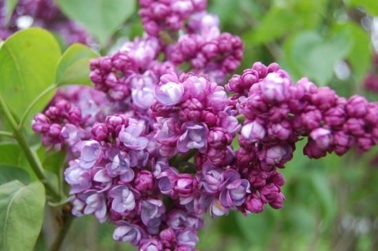 Liliac cu flori batute culoare mov