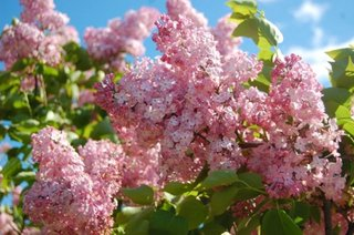 Liliac flori roz soi Syringa Maidens