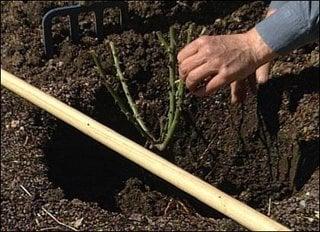 Plantare butas de trandafir in gradina toamna