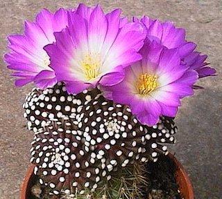 Mammillaria luethyi flori violet