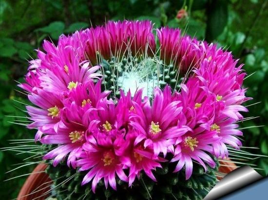 Mamilaria - Mammillaria - tot ce trebuie sa stii despre ingrijirea acestui cactus