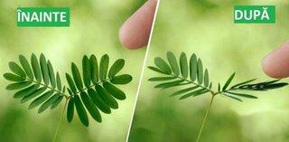 Mimosa Pudica planta care se misca cand o atingi