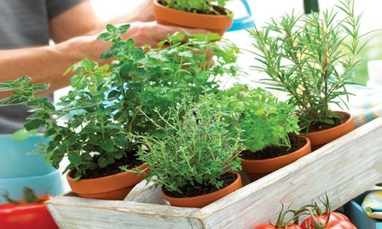 Mica gradina cu ierburi aromatice - Iata cum poti cultiva in ghiveci plantele indispensabile in bucatarie
