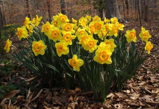 Narcissus galbena