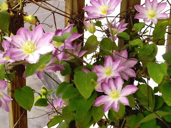 Clematis Asao cu flori roz