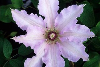 Clematis Blue Moon