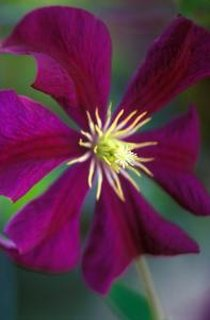 Clematis Etoile Violet