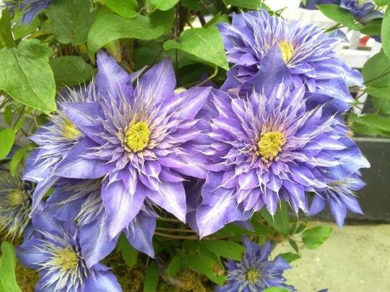 Clematis Multi Blue flori albastru violet