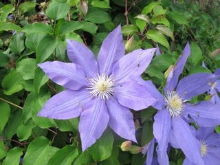 Clematis albastra blue moon