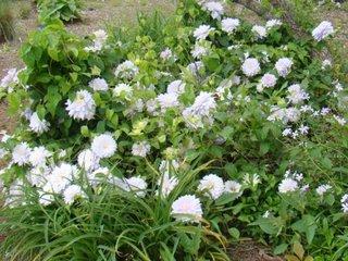 Clematis cu flori albe Duchess of edinburgh