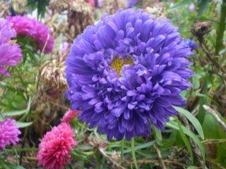 Floare ochiul boului mov