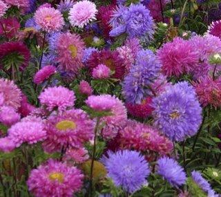 Flori roz si mov de ochiul boului plantate in gradina