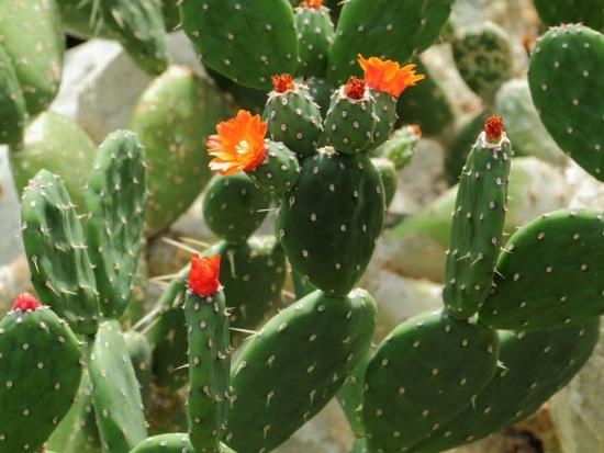Opuntia quitensis cu flori portocalii