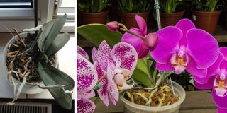 Cum salvezi o orhidee ofilita