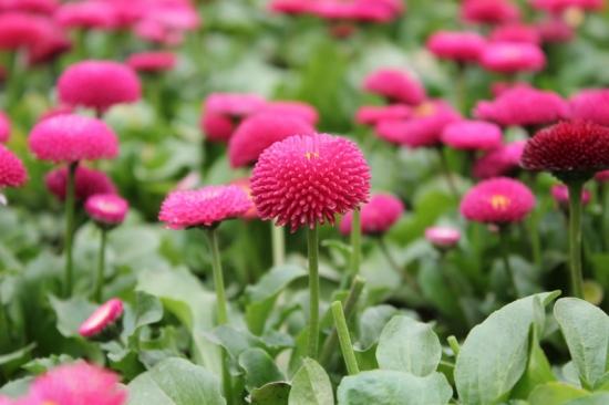 Bellis Perennis de culoare roz