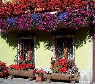 Petunii combinate cu muscate vara in gradina