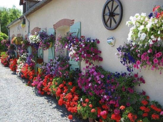 Petunii pline de flori - Sfaturi cultivare, ingrijire si inmultire