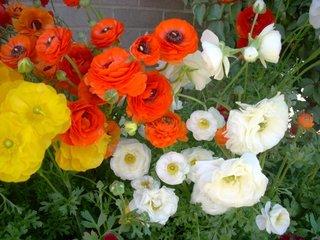 Mix de culori ranunculus in gradina
