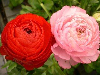 Piciorul cocosului flori roz si rosii