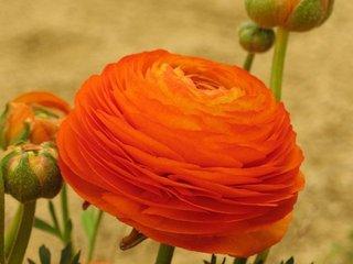 Ranunculus Asiaticus Persian culoare portocalie