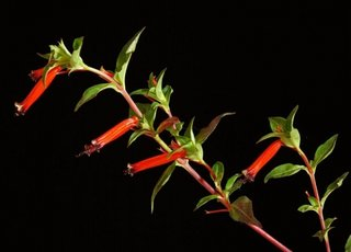 Cuphea ignea rosie