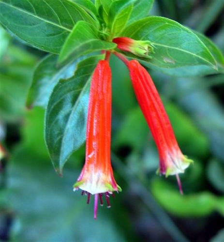 Planta tigareta cu flori rosii