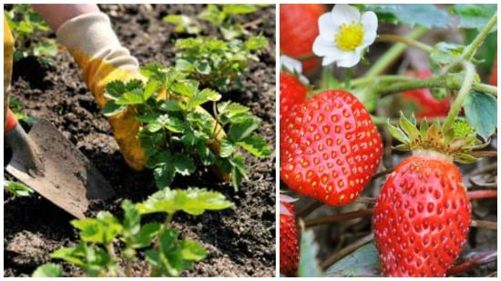 Plantarea capsunilor - despre cultivare, ingrijire, inmultire si combaterea bolilor si daunatorilor