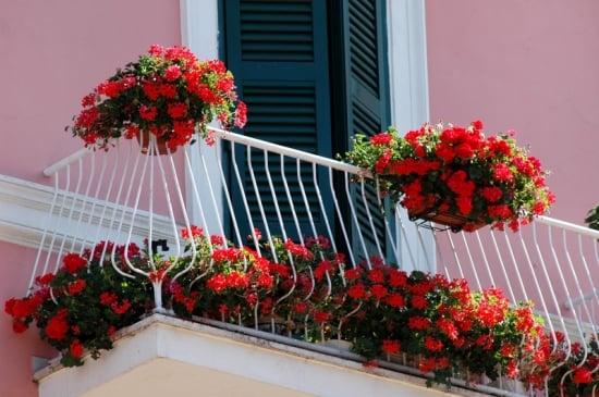 Flori geranium pe balcon