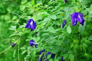 Fasolea fluturilor floare