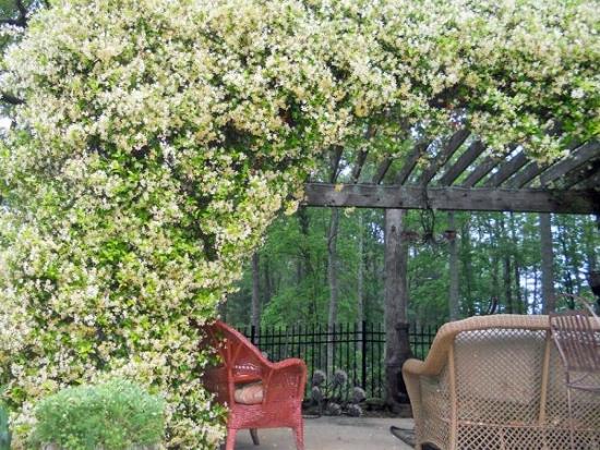 Iasomie pentru gradini frumos mirositoare