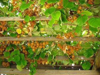 Pergola cu fructe de kiwi
