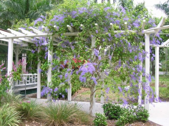 Plante cataratoare pentru pergole - cea mai naturala umbra