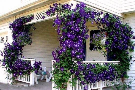 Flori de Clematis pe balustrada de intrare in casa