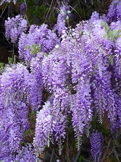 Flori de glicina chinezeasca mov