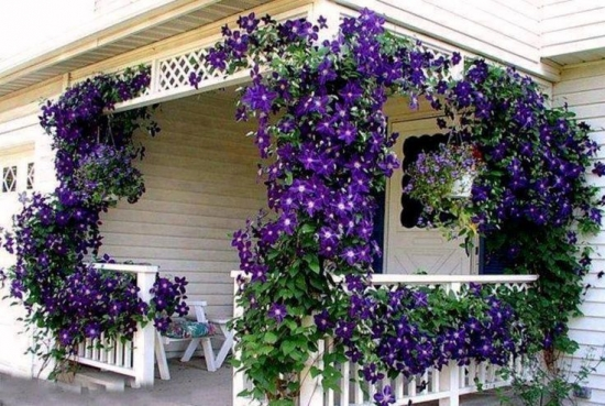 Intrare in casa cu flori clematis mov