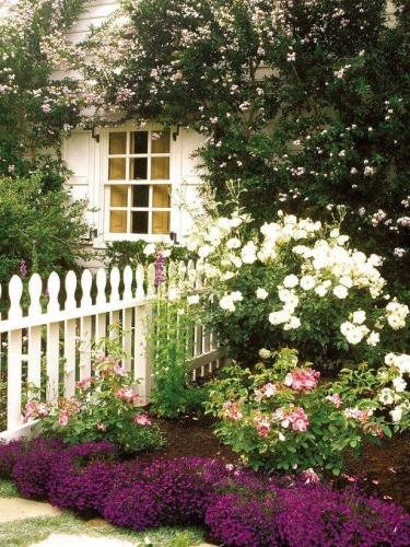 Trandafiri albi swan lake