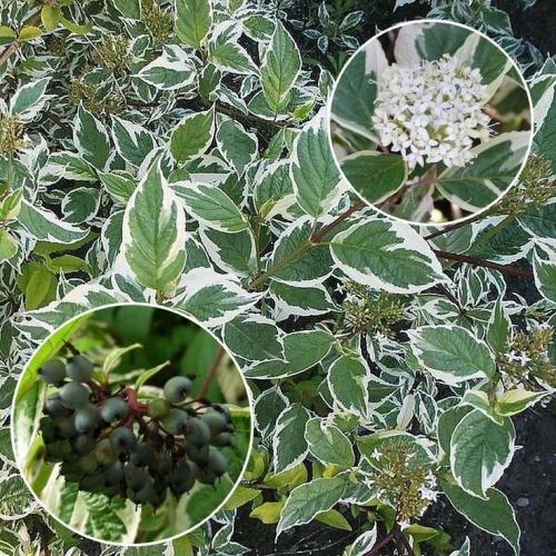 Cornus Alba Sibirica C2