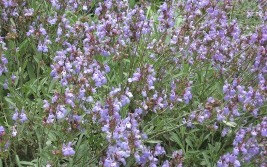 Salvia - Salvia oficinalis