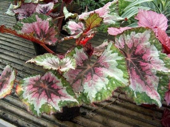 Begonia rex x cultorum