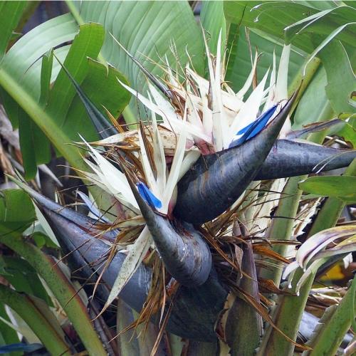Strelitia nicolai alba