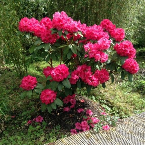Arbust cu frunze mereu verzi si flori roz rododendron in gradina