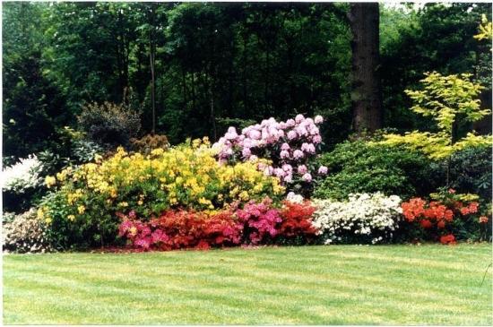 Azalee de gradina tufe colorate