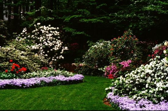 Gradina plantata cu arbusti cu flori rodonedroni