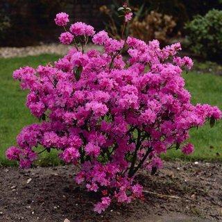 Rhododendron spp cu flori roz