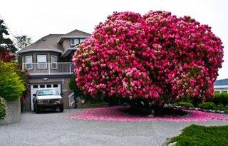 Rododendron de 125 de ani